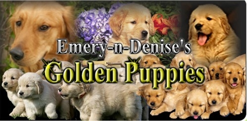 Emery-n-Denise's Golden Puppies in the Year 2020