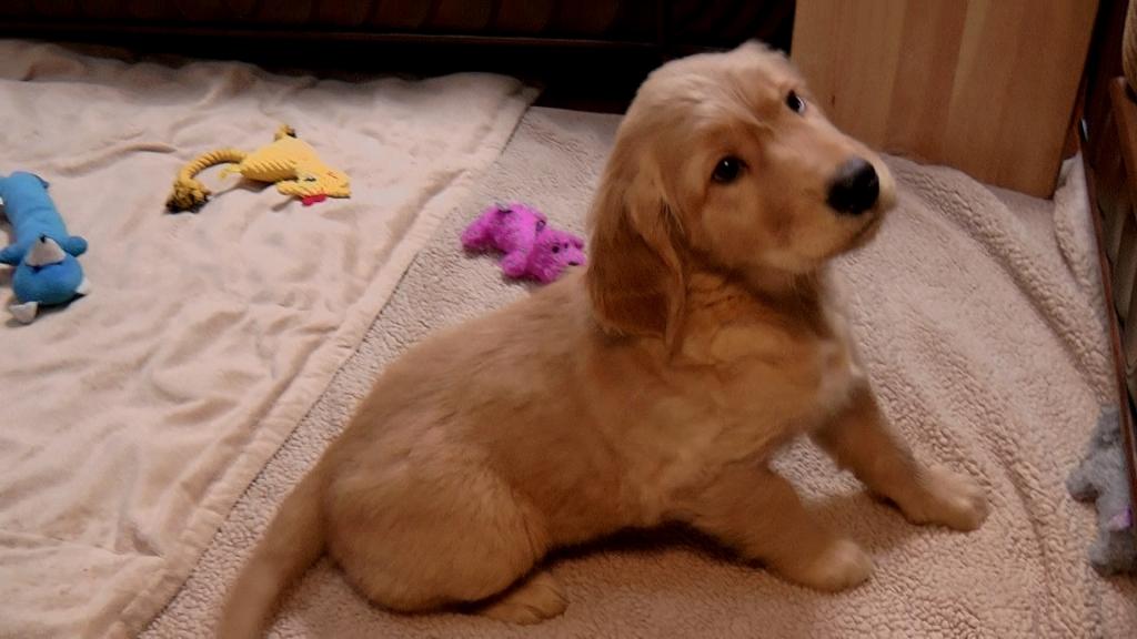 What an Adorable Honey Golden Caramel Puppy!