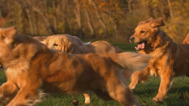 Grooming and Caring for a Golden Retriever